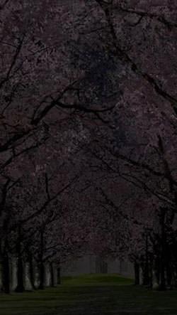 Spring Sakura Trees Android Mobile Phone Wallpaper Image 1