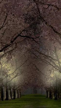 Spring Sakura Trees Android Mobile Phone Wallpaper Image 2