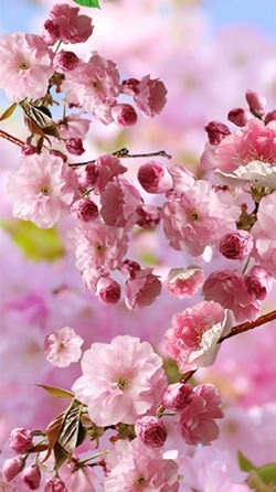 Download Free Android Wallpaper Sakura 3868 Mobilesmspk Net