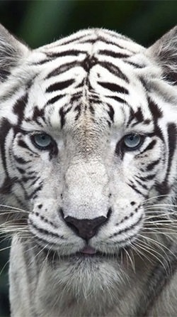 White Tiger Android Wallpaper Image 1