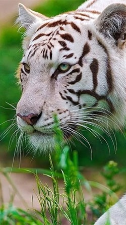 White Tiger Android Wallpaper Image 3