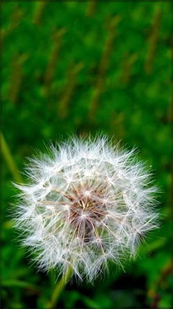 Dandelion Android Wallpaper Image 2