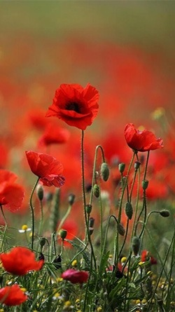 Red Poppy Android Wallpaper Image 1