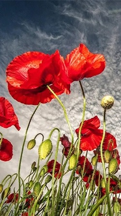 Red Poppy Android Wallpaper Image 2