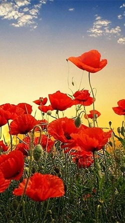 Red Poppy Android Wallpaper Image 3