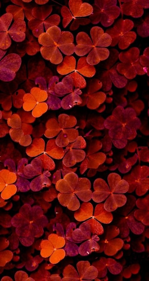 Red Flowers Android Wallpaper Image 1