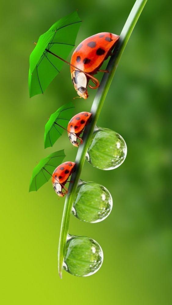 Ladybug Mobile Phone Wallpaper Image 1