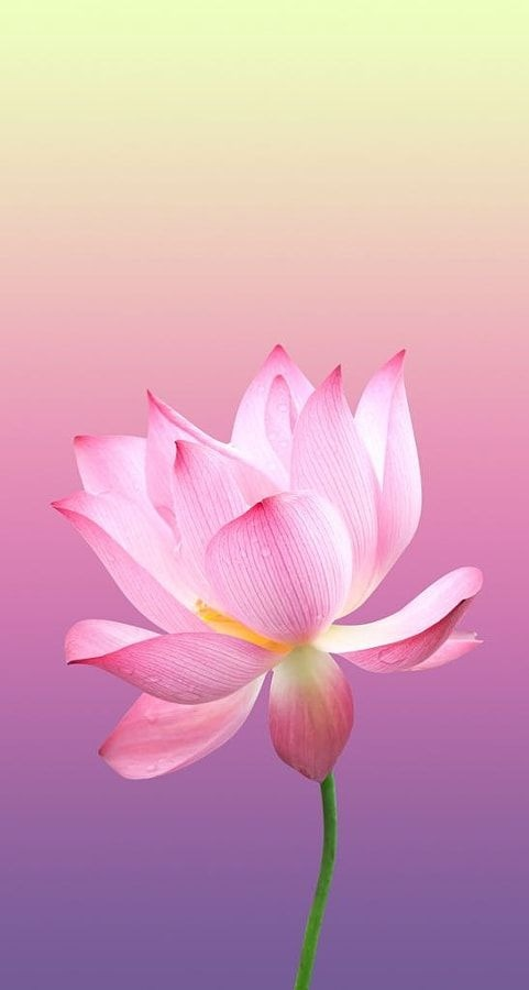 Pink Flower Android Wallpaper Image 1