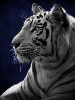 Download Free Mobile Phone Wallpaper White Tiger 789 Mobilesmspk Net