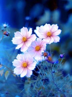Blue Flowers Hd  Mobile Phone Wallpaper