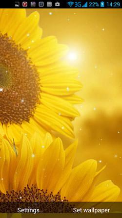 Golden Sunflower QMobile NOIR A10 Wallpaper
