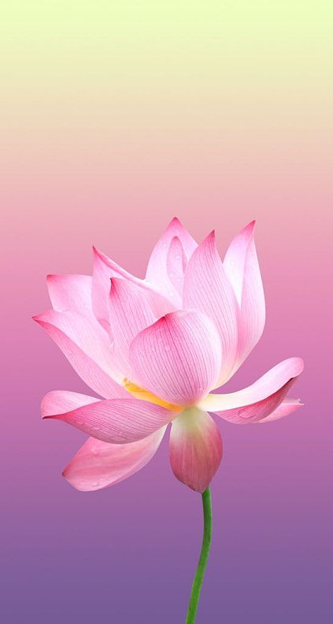 Pink Flower Android Mobile Phone Wallpaper