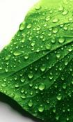 Leaf Nokia Asha 310 Wallpaper