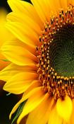 SunFlower Nokia N800 Wallpaper