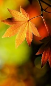 Hd Autumn Leaves  Mobile Phone Wallpaper