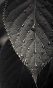 Leaf Hd  Mobile Phone Wallpaper