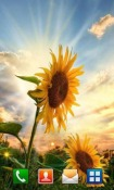 Sunflower Sunset Android Mobile Phone Wallpaper