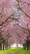 Spring Sakura Trees Lava A77 Wallpaper