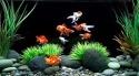 Goldfish Micromax Canvas Infinity Wallpaper