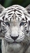 White Tiger Micromax Canvas Infinity Wallpaper